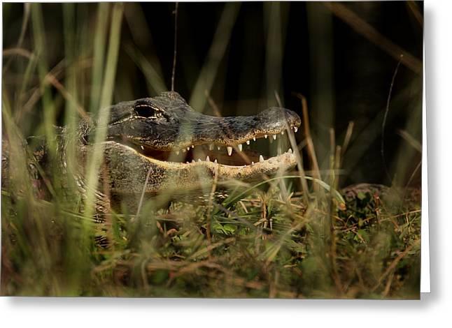 Florida Gators Greeting Cards - Florida Alligator  Greeting Card by Joseph G Holland