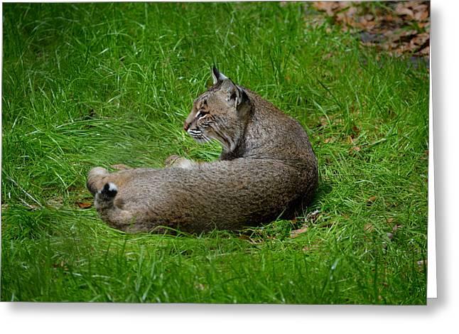 Bobcats Photographs Greeting Cards - Florida Bobcat 1 Greeting Card by Judy Wanamaker