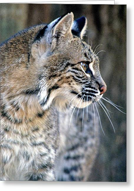 Best Sellers -  - Bobcats Photographs Greeting Cards - Florida Bobcat Greeting Card by Larry Allan
