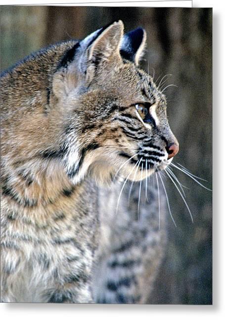 Bobcat Greeting Cards - Florida Bobcat Greeting Card by Larry Allan
