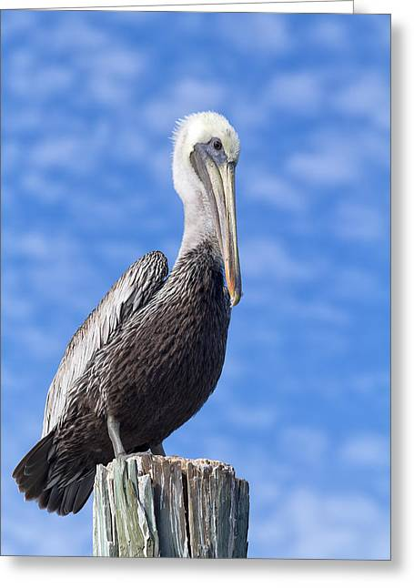 Kim Photographs Greeting Cards - Florida Brown Pelican Greeting Card by Kim Hojnacki