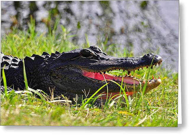 Al Powell Photog Greeting Cards - Gator Grin Greeting Card by Al Powell Photography USA