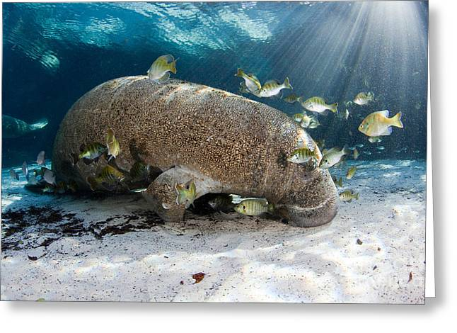 Manatee Springs Greeting Cards - Florida Manatee With Fish Greeting Card by David Fleetham