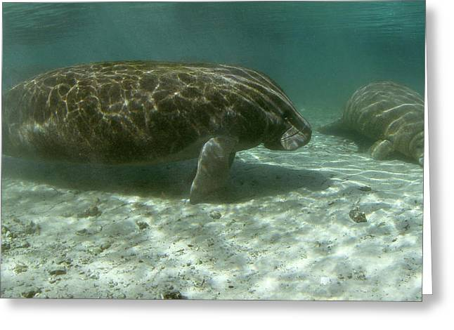 Florida Manatees Greeting Card by Michael Szoenyi