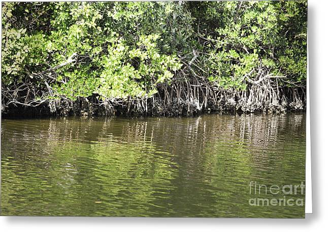 Mangrove Forest Greeting Cards - Florida Mangroves Greeting Card by Andrea Hazel Ihlefeld