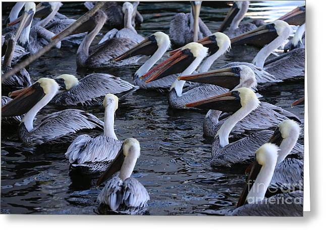 St Petersburg Florida Greeting Cards - Florida pelicans Greeting Card by Michael Paskvan