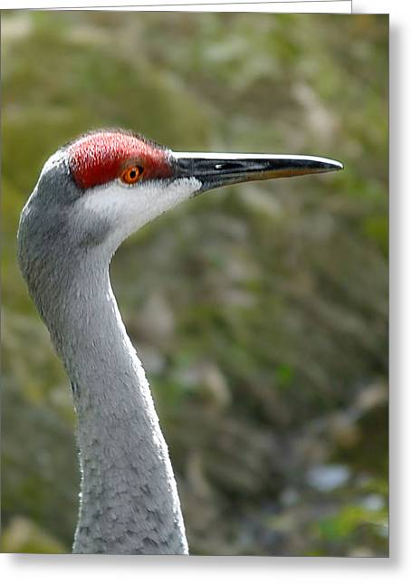 Avian Greeting Cards - Florida Sandhill Crane Greeting Card by Christine Till