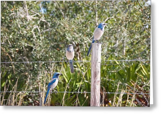 Scrub Jay Greeting Cards - Florida Scrub Jays Greeting Card by Rich Leighton