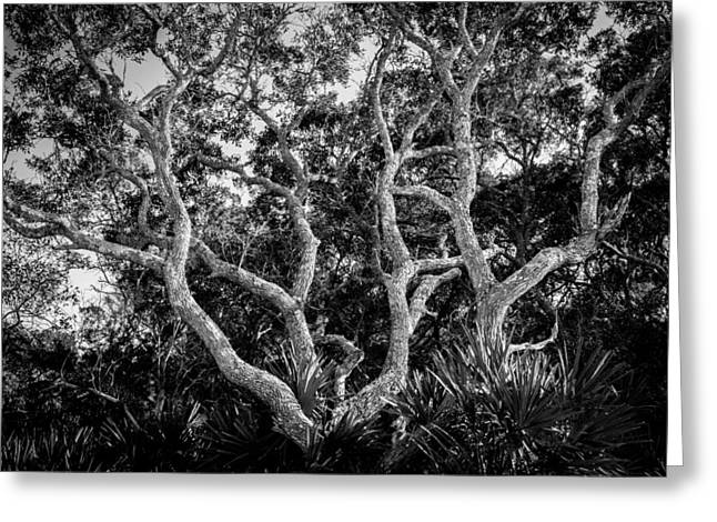 Oak Hammocks Greeting Cards - Florida Scrub Oaks BW   Greeting Card by Rich Franco