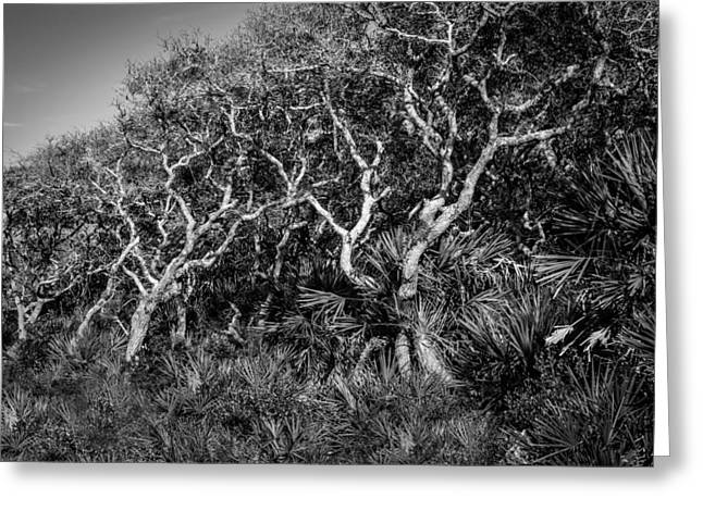 Oak Hammocks Greeting Cards - Florida Scrub Oaks Painted BW  Greeting Card by Rich Franco