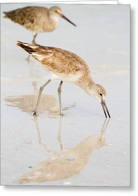Shorebirds Greeting Cards - Florida Shorebirds - Willets in Their Summer Finery Greeting Card by Bill Swindaman