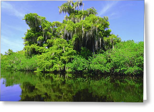 Florida Swamps Greeting Card by Carey Chen