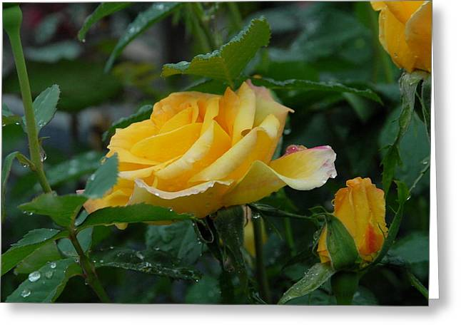 Roses Greeting Cards - Flower 632 Greeting Card by Joyce StJames