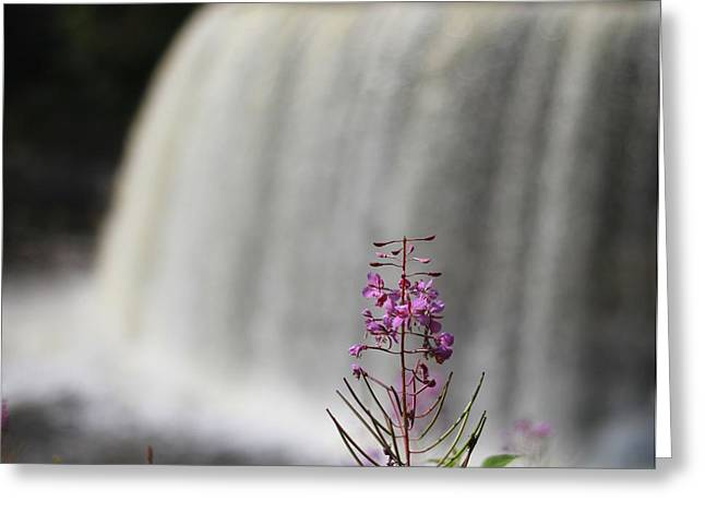 Newberry Greeting Cards - Flower At Tahquamenon Falls Greeting Card by Dan Sproul