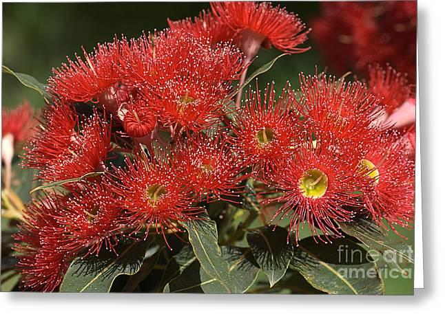 Australian Native Flora Greeting Cards - Flower-eucalyptus-red-flora Greeting Card by Joy Watson
