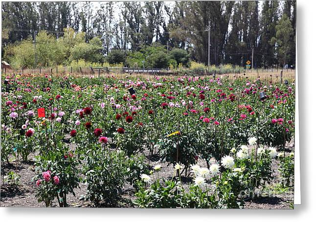 Bay Area Flowers Greeting Cards - Flower Garden in Petaluma California 5D24422 Greeting Card by Wingsdomain Art and Photography