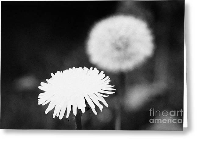 Achene Greeting Cards - Flower Head And Clock Head Of Dandelion Taraxacum Officinale Flower In Gard Greeting Card by Joe Fox