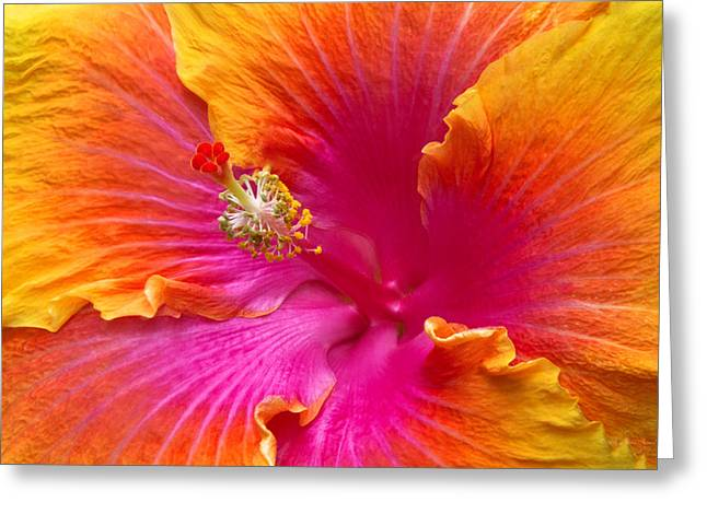 Framed Stamen Greeting Cards - Flower - Hibiscus Rosa-Sinesis - Chinese Hibiscus - Appreciation Greeting Card by Mike Savad