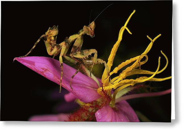 Creobroter Sp Greeting Cards - Flower Mantis Nymph Greeting Card by Mark Moffett