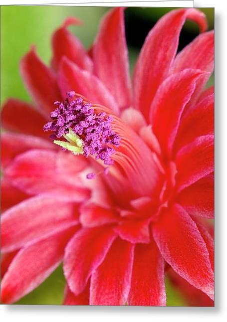 Flower Of Cleistocactus Winteri Greeting Card by Dr Jeremy Burgess