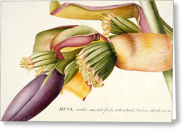 Banana Plants Greeting Cards - Flower of the Banana Tree  Greeting Card by Georg Dionysius Ehret