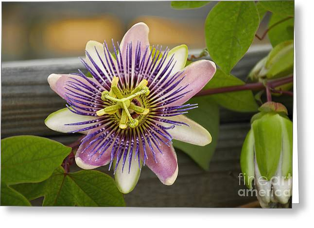 Passionflower Greeting Cards - Flower on a Fence Greeting Card by Norman Gabitzsch