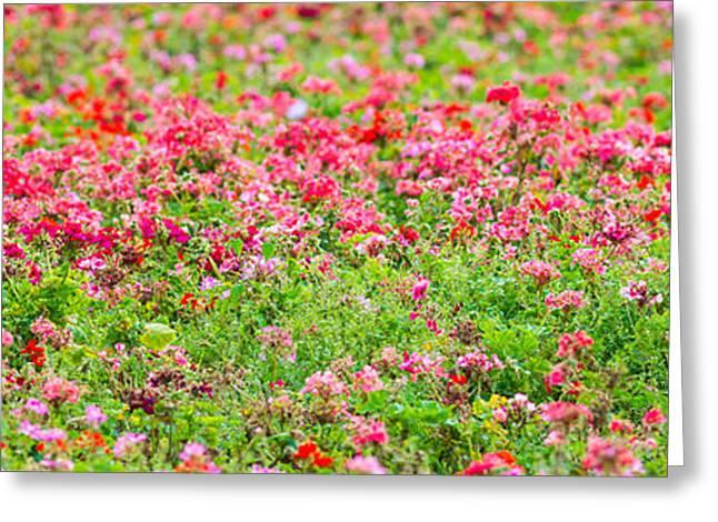 Organic Greeting Cards - Flowerbed Panorama Medium - Featured 3 Greeting Card by Alexander Senin