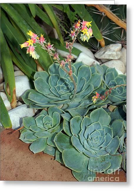 Flowering Cactus Greeting Card by Rod Jones