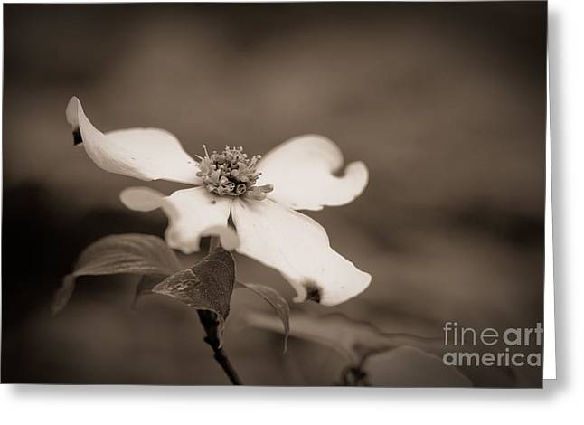 Best Sellers -  - Nature Greeting Cards - Flowering dogwood blossom Greeting Card by Oscar Gutierrez