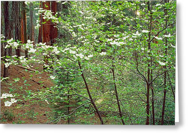 Sequoia National Park Greeting Cards - Flowering Dogwood In Bloom At Sunrise Greeting Card by Panoramic Images