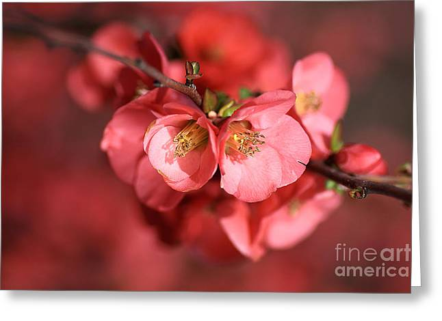 Joy Watson Greeting Cards - Flowering Quince Greeting Card by Joy Watson