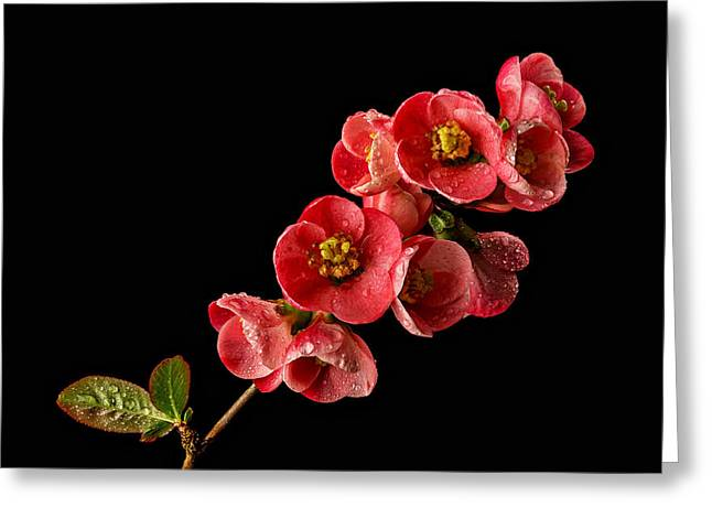 Stigma Greeting Cards - Flowering Quince Greeting Card by Mary Jo Allen