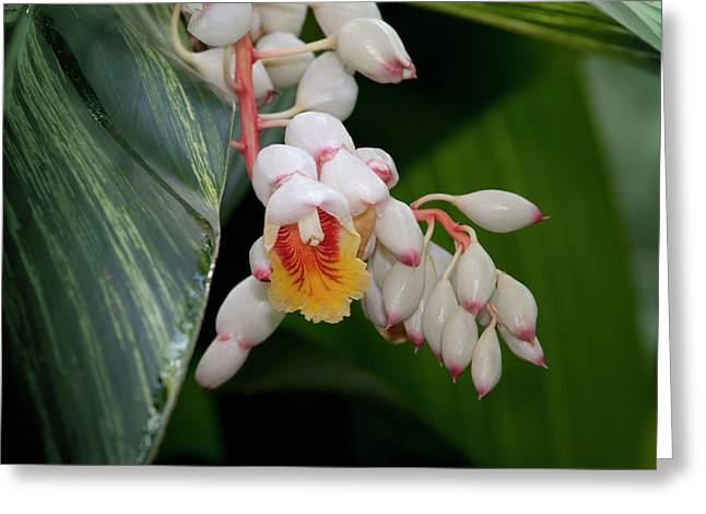 Flowering Variegated Shell Ginger Greeting Card by Thomas Wiewandt