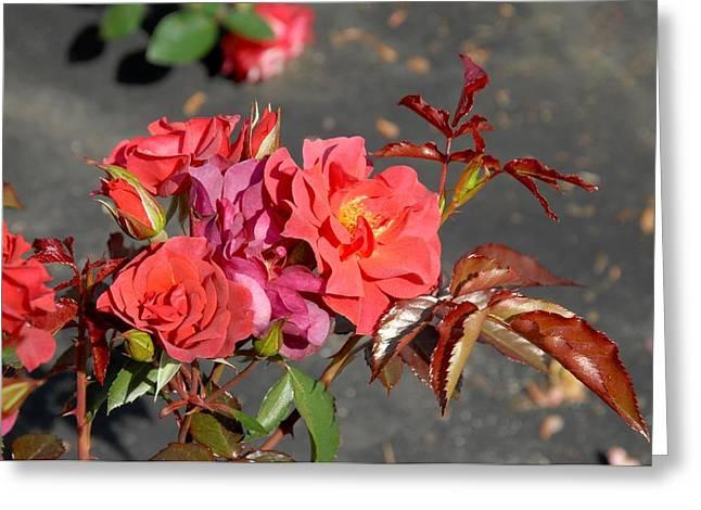 Roses Greeting Cards - Flowers 448 Greeting Card by Joyce StJames