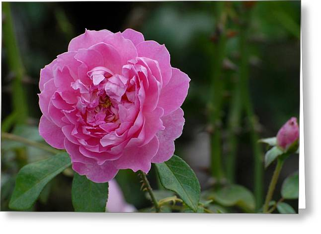 Roses Greeting Cards - Flowers 528 Greeting Card by Joyce StJames