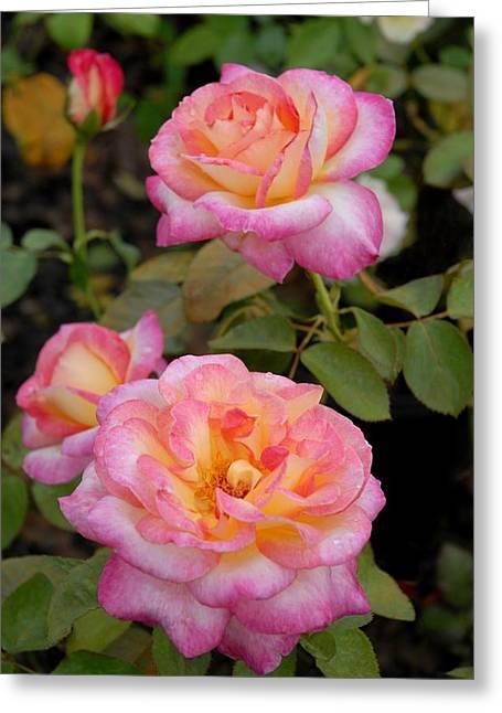 Roses Greeting Cards - Flowers 529 Greeting Card by Joyce StJames