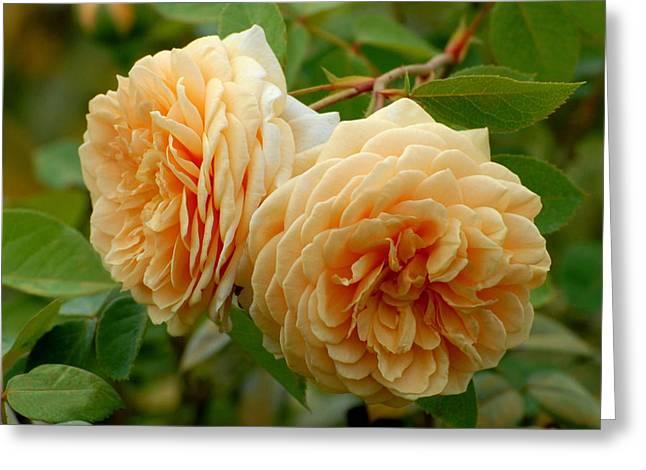 Roses Greeting Cards - Flowers 530 Greeting Card by Joyce StJames