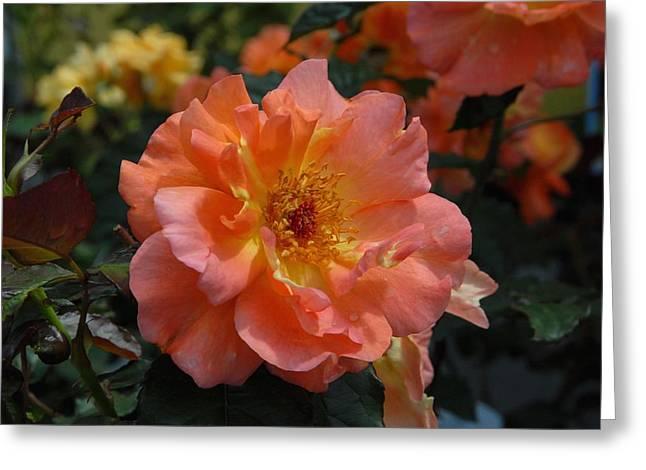 Roses Greeting Cards - Flowers 604 Greeting Card by Joyce StJames