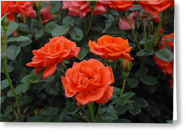 Roses Greeting Cards - Flowers 636 Greeting Card by Joyce StJames