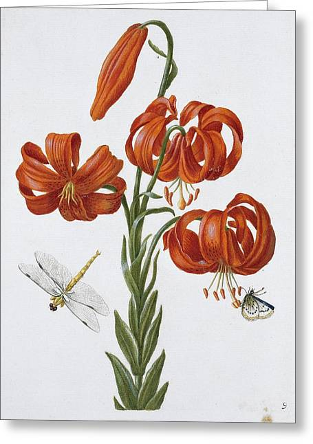1680 Greeting Cards - Flowers and insects, 17th century Greeting Card by Science Photo Library