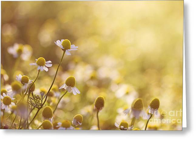 Chamomile Greeting Cards - Flowers Greeting Card by Diana Kraleva