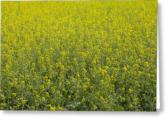 Indiana Flowers Greeting Cards - Flowers field  Greeting Card by Indiana Zuckerman