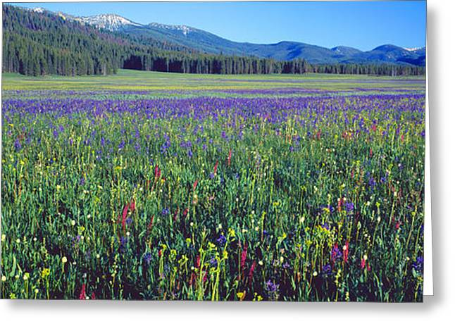 Flowers In A Field, Salmon, Idaho, Usa Greeting Card by Panoramic Images