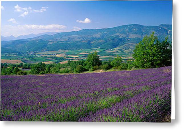 Purple Flower Flower Image Greeting Cards - Flowers In Field, Lavender Field, La Greeting Card by Panoramic Images