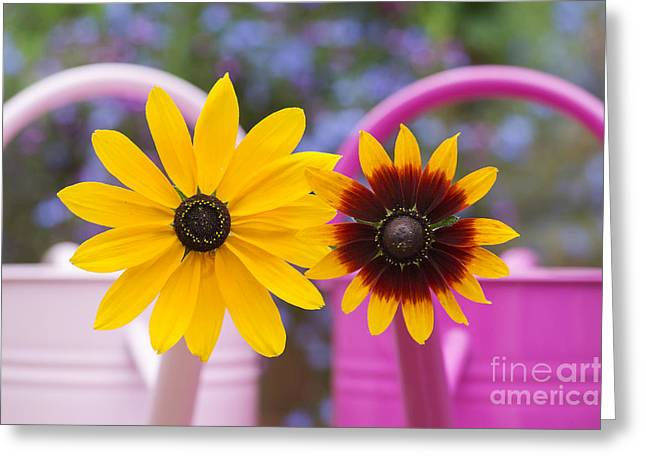 Asteraceae Greeting Cards - Flowers in pink watering can Greeting Card by Tim Gainey