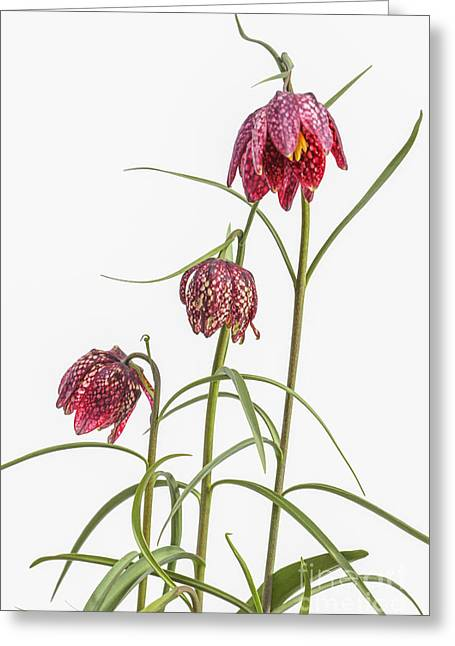 Fritillaria Greeting Cards - Flowers of the Fritillaria meleagris Greeting Card by Patricia Hofmeester