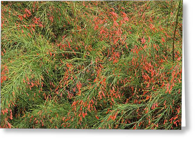 Florida Flowers Greeting Cards - Flowers On Coral Plants Russelia Greeting Card by Panoramic Images