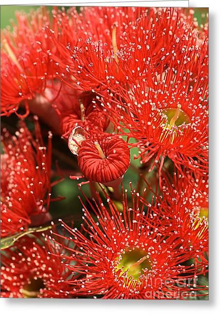 Australian Native Flora Greeting Cards - Flowers-red Eucalyptus-australian Native Flora Greeting Card by Joy Watson