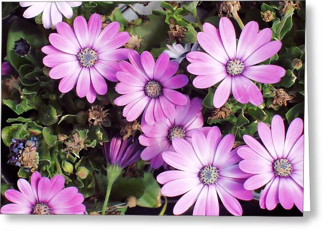 Flowers...silky Pink Greeting Card by Tom Druin