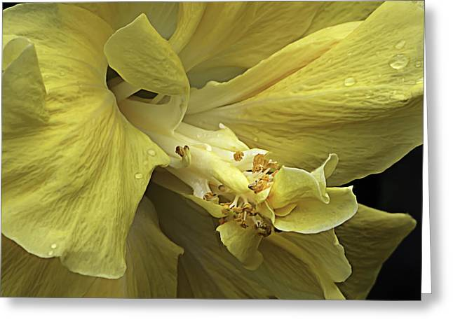 Yellow Submarine Greeting Cards - Flowing Petals of the Chinese Hibiscus Greeting Card by Julie Palencia